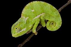 Flapnecked chamaeleon (Chamaeleo dilepis) Royalty Free Stock Image