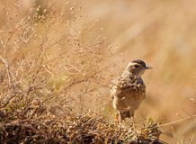 A Flappet Lark at a dry plant. The Flappet Lark´s (Mirafra rufocinnamomea) plumage colors allow him to remain unseen Stock Photo