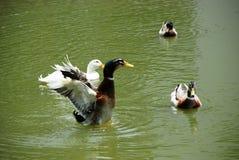 flapping утки Стоковые Изображения RF