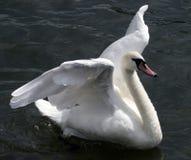 лебедь flapping Стоковая Фотография