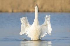 Крыла flapping безгласного лебедя Стоковая Фотография RF
