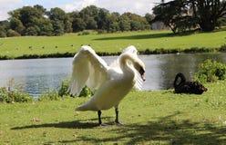 flapping av dess swanvingar Royaltyfri Fotografi