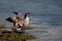 Flapping Canada Goose Royalty Free Stock Photo