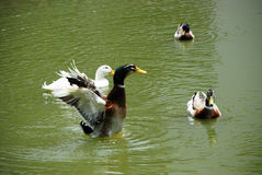 Flapping duck Royalty Free Stock Images