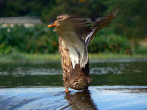 Flapping Duck. Adorable duck drying his wings after a bath along Turtle Creek in Dallas, Tx Stock Photo