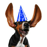 Flapping ears. A basset hound with long flapping ears stock images