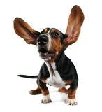 Flapping ears. A basset hound with long flapping ears stock image