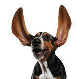Flapping ears Stock Photo