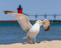 Flapping Gull and LIghthouse Royalty Free Stock Photography