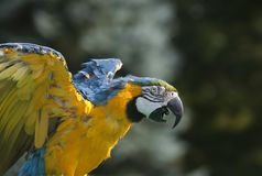 Flapping Macaw Stock Photography