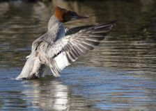 Flapping Merganser. Mergansers swim along with their heads ducked underwater, so they can watch for fish. When they see one they want, they take off like a Royalty Free Stock Image