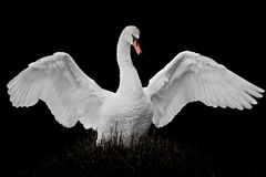 Flapping Mute Swan. Frontal Portrait of a Flapping Mute Swan Against a Black Background royalty free stock photos