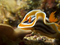 Flapping Nudibranch. A nudibranch flapping it& x27;s sides royalty free stock photos