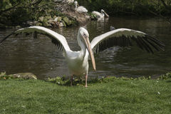 Flapping pelican Royalty Free Stock Image