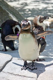 Flapping Penguin Royalty Free Stock Image