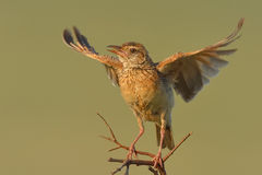 Flapping. Rufousnaped lark flapping wings and singing Royalty Free Stock Image