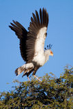 Flapping secretary bird Royalty Free Stock Images