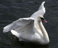 Flapping Swan. A swan flappings its wings in a river Stock Photography