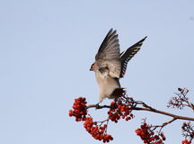 A Flapping  Waxwing. Happy Flapping Waxwing on Branches with Red Fruits Royalty Free Stock Image