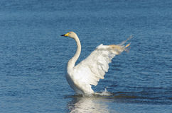 Flapping whooper swan Royalty Free Stock Photos