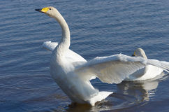Flapping whooper swan Royalty Free Stock Images