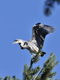 Flapping wings Grey Heron chick near the nest Royalty Free Stock Photo