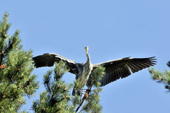 Flapping wings Grey Heron chick near the nest Royalty Free Stock Image