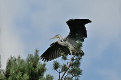Flapping wings Grey Heron chick near the nest Stock Photography