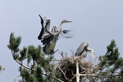 Flapping wings Grey Heron chick near the nest Stock Photo