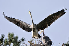 Flapping wings Grey Heron chick in the nest Stock Images