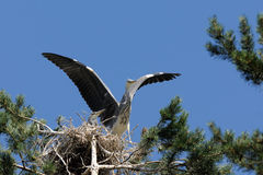 Flapping wings Grey Heron chick at the nest Royalty Free Stock Photography