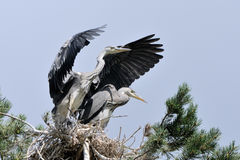 Flapping wings Grey Heron chick at the nest Stock Photos