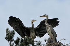 Flapping wings Grey Heron chickat the nest Stock Photos