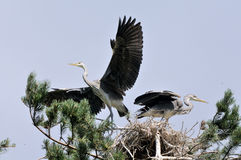 Flapping wings Grey Heron chickat the nest Stock Photography