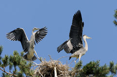 Flapping wings Grey Heron chicks near the nest Royalty Free Stock Photos