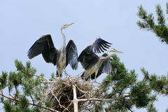 Flapping wings Grey Heron chicks at the nest Stock Photos