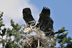 Flapping wings Grey Heron large chicks in the nest Royalty Free Stock Photo