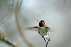 Flapping Wings of a Ruby Throated Hummingbird Royalty Free Stock Photos