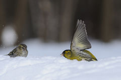 Flapping wings Siskin in snow. Flapping wings male Siskin (Carduelis spinus) in snow near female. Moscow region, Russia royalty free stock image