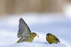 Flapping wings Siskin in snow. Two male siskins (Carduelis spinus) in snow. Moscow region, Russia Royalty Free Stock Photos