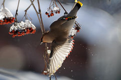 Flapping wings Waxwing at rowan-tree Royalty Free Stock Images