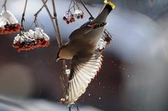 Flapping wings Waxwing at rowan-tree Royalty Free Stock Images