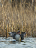 Flapping Wood Duck Royalty Free Stock Images