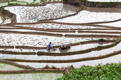 Flarmer plowing terraced rice fields, China Stock Photo