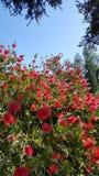 Flaschenbürstenblumen Stockfoto