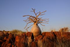 Flaschenbaum lizenzfreie stockfotografie