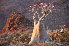 Flaschenbaum - Adenium obesum Lizenzfreie Stockbilder