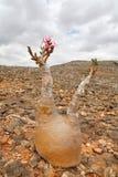 Flaschenbaum - Adenium obesum Stockfotos