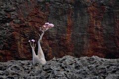 Flaschenbaum in der Blüte Lizenzfreie Stockfotografie