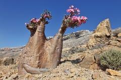 Flaschenbaum in der Blüte Stockfotografie